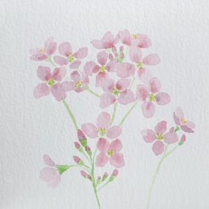 Mayflowers painted with watercolour